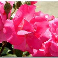розовые  розы. :: Ivana