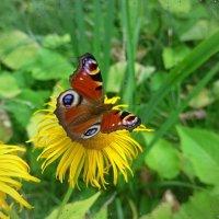 Бабочка на цветке :: Nina Yudicheva