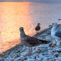 Чайки на закате. :: Владимир Лазарев