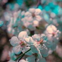 Цветущая яблоня :: Татьяна Тимофеева