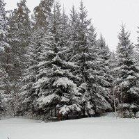Снежные ели. :: Мила Бовкун