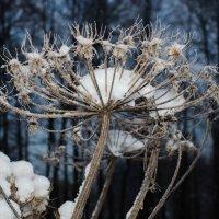 Борщевик в снегу :: Геннадий Хоркин