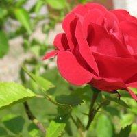 Роза в утренней росе :: ponsv