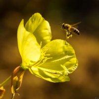 Пчела :: Дмитрий