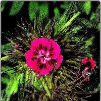 Турецкая гвоздичка. Начало цветения :: Нина Корешкова