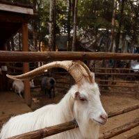 Жил на свете козел :: Олег Дурнов
