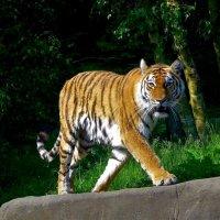 Тигр после купания :: Nina Yudicheva