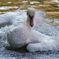Лебедь :: Елена Логачева