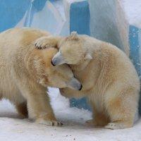 Белые медведи Герда и Ростик :: Владимир Шадрин