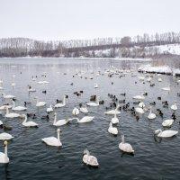 Белокуриха , лебеди в январе. :: Сергей Тонких