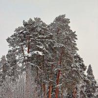 Сосны :: Олег Резенов