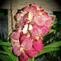 Орхидеи :: Наталия Короткова