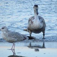 Парочка - лебедь и чайка :: Маргарита Батырева