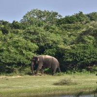 Матерый слонище. Парк Яла. Цейлон. Grizzled elephant. Yala Park. Ceylon. :: Юрий Воронов