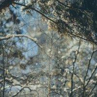 Падает снежок с ветки :: Сергей Алексеев