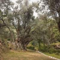 пятисотлетняя олива :: sergio tachini