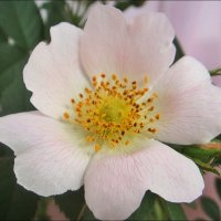 Розовая нежность шиповника :: Нина Корешкова