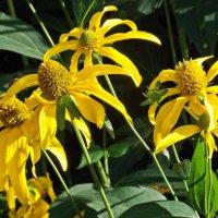 Солнечные цветы :: Фотогруппа Весна.