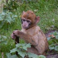 Грустная маленькая обезьянка :: Ivolga