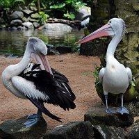 Пеликаны :: Асылбек Айманов