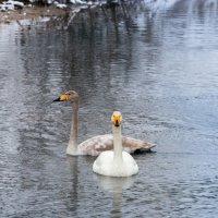 Лебеди :: Денис Сидельников