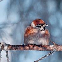 Портрет воробышка в ясный морозный день :: Татьяна Губина