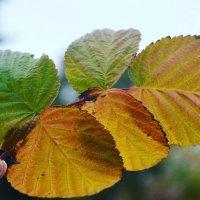 цвета осени :: Виктория