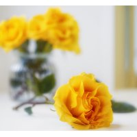 Yellow rose :: Оксана Анисимова
