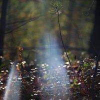 ЛУч в лесу :: MarinaZi .