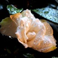 Чарующий аромат гардении.. :: Андрей Заломленков