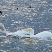 море и лебеди 4 :: Игорь Гарагуля