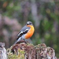 Flame robin :: чудинова ольга