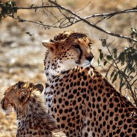 Гепарды в дикой природе :: Lara Irimeeva