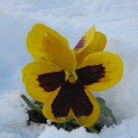 Цветок в снежном плену :: valeriy khlopunov