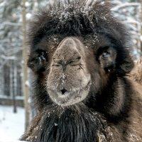 Зимний верблюд :: Юрий Борзов