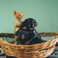 Котенок и щенки в корзине :: Ксения Лабуш