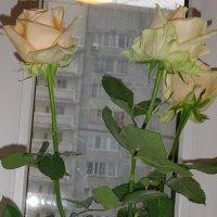 Розы и зимой Розы! :: Galina194701
