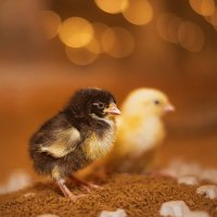 цыплята :: Ольга Сапцина