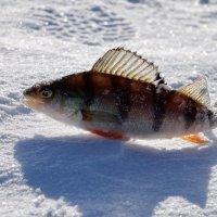 Рыбка :: Елена