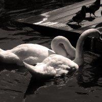 Лебеди всегда верны своему выбору :: Юлия Шабалдина