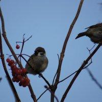 Два воробушка на ветке :: Екатерина Шиманская