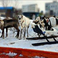 Тундряки: северные олени и саамская оленегонная собака :: Кай-8 (Ярослав) Забелин