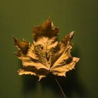 Кленовый лист... :: Sergey Apinis