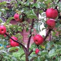 Красные яблочки :: Вера (makivera)