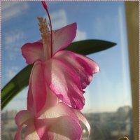 Декабрист - рождественский кактус :: Вера