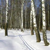 Лыжня в берёзовом лесу. :: Борис Митрохин