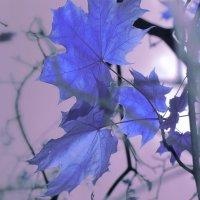 Кленовые листья :: Руслан Тимошенко