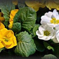 Примула -весна рядом.... :: Galina Dzubina