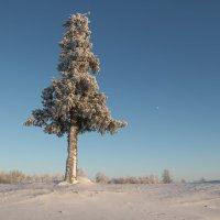 Одинокая ель!!!! :: Олег Кулябин