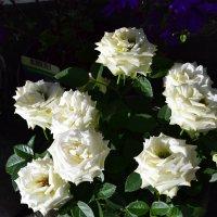 Белые розы :: Ольга